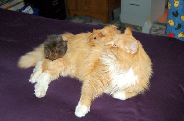 cat_and_guinea_pigs